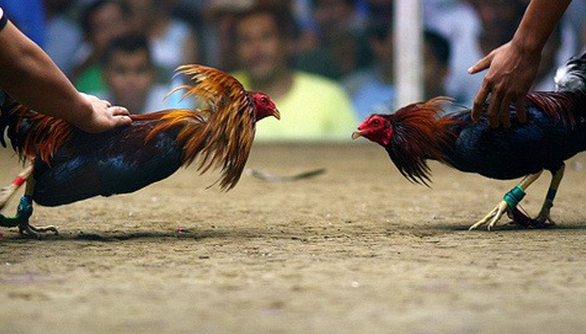 Tips for Playing Cockfighting Online
